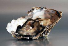 Pearl-oyster-talajavaher-magazine